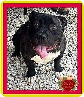 American Pit Bull Terrier Mix Dog for adoption in Rancho Cucamonga, California - Petunia