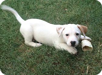 Corgi/Beagle Mix Puppy for adoption in PARSIPPANY, New Jersey - MARTIN