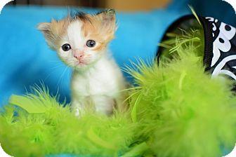 Calico Kitten for adoption in Calgary, Alberta - Shentzi