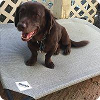 Adopt A Pet :: Muddy Waters - Austin, TX