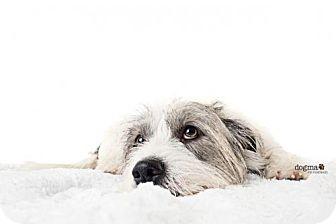 Petit Basset Griffon Vendeen/Basset Hound Mix Dog for adoption in Huntington Beach, California - Ollie