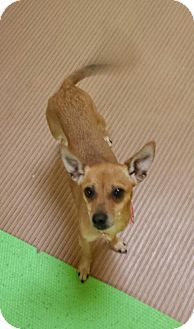 Chihuahua Dog for adoption in Akron, Ohio - Starlight