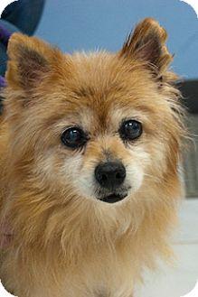 Pomeranian Mix Dog for adoption in Martinsville, Indiana - Goldie