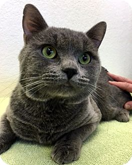 Russian Blue Cat for adoption in Las Vegas, Nevada - Vladimer