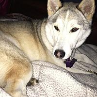 Husky/Shiba Inu Mix Dog for adoption in Hoffman Estates, Illinois - Earth