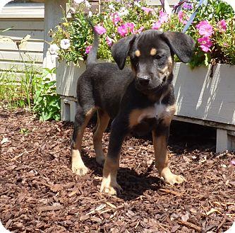 Beagle/Feist Mix Puppy for adoption in Newburgh, New York - Pinkie