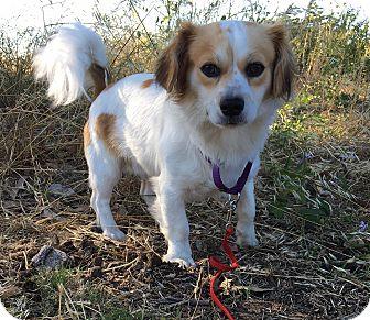 Tibetan Spaniel/Chihuahua Mix Dog for adoption in Emeryville, California - DUNCAN