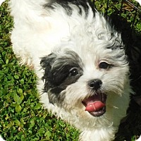 Adopt A Pet :: Shih tzus and mixes Petco Sat. - Orlando, FL