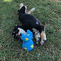 Adopt A Pet :: Hera - BONITA, CA