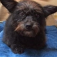Adopt A Pet :: Pepper, perfect little sweety - Snohomish, WA