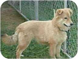 Golden Retriever/Collie Mix Puppy for adoption in North Benton, Ohio - Rusty (R)