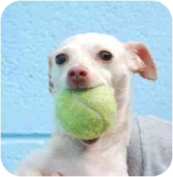 Chihuahua Dog for adoption in Berkeley, California - Apricot