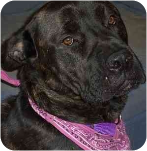 Cane Corso Dog for adoption in New York, New York - Angie-NJ