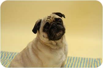 Pug Dog for adoption in Hinckley, Minnesota - Duke
