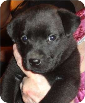 Chow Chow/Labrador Retriever Mix Puppy for adoption in Haughton, Louisiana - Shadow