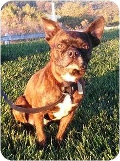 Boston Terrier/Pug Mix Dog for adoption in El Cajon, California - Bug