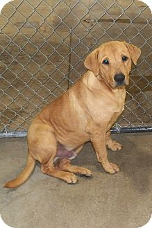 Shar Pei/Labrador Retriever Mix Dog for adoption in Osceola, Arkansas - Chump