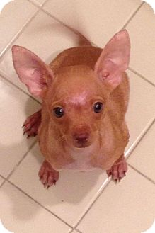 Chihuahua Mix Puppy for adoption in Davie, Florida - Latte2