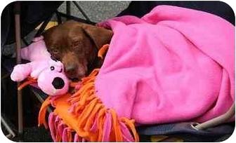 Labrador Retriever/Beagle Mix Dog for adoption in Cumming, Georgia - India