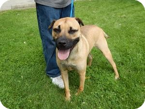 Boxer Mix Dog for adoption in Sidney, Ohio - Albie