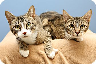Domestic Shorthair Cat for adoption in Bellingham, Washington - Thelma