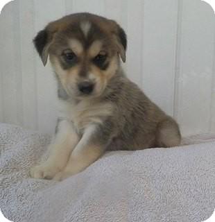 Siberian Husky Puppy for adoption in Zanesville, Ohio - Sheena's Girl #1