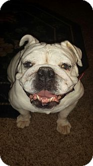 English Bulldog Dog for adoption in Columbus, Ohio - Bailey