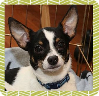 "Chihuahua/Rat Terrier Mix Dog for adoption in Troy, Michigan - Nick ""Clause"""