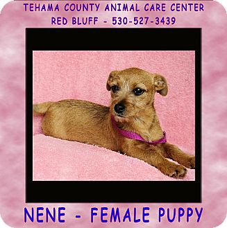 Terrier (Unknown Type, Small) Mix Puppy for adoption in Red Bluff, California - NENE