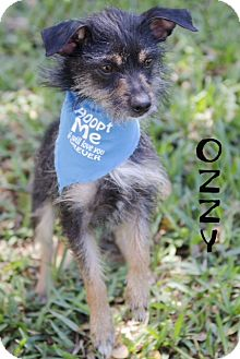 Terrier (Unknown Type, Small) Mix Dog for adoption in Sarasota, Florida - Ozzy