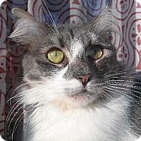 Domestic Mediumhair Cat for adoption in Los Angeles, California - Victoria