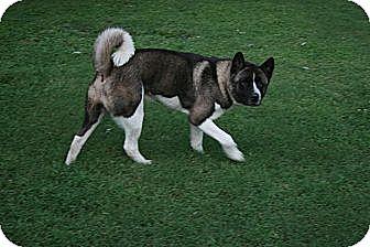 Akita Dog for adoption in Virginia Beach, Virginia - Gatti
