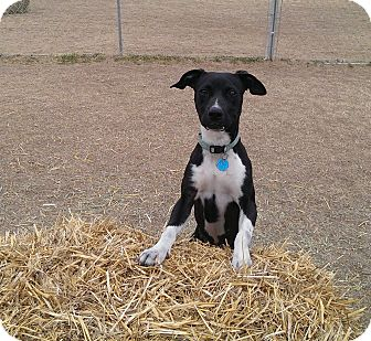 Pit Bull Terrier/American Pit Bull Terrier Mix Dog for adoption in Norman, Oklahoma - Veronica