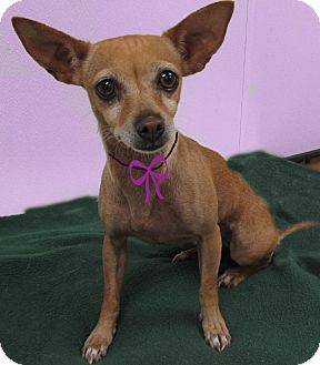Chihuahua Dog for adoption in Hillsboro, Texas - Bella