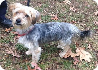 Yorkie, Yorkshire Terrier Mix Dog for adoption in Bloomfield, Connecticut - Tiny Tim