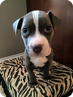 Pit Bull Terrier/American Staffordshire Terrier Mix Puppy for adoption in Atlanta, Georgia - Ruckus