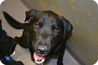 Labrador Retriever Mix Dog for adoption in Edwardsville, Illinois - Hanzel