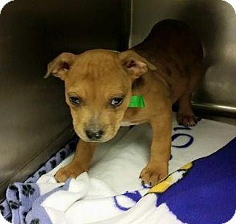 Mastiff/Boxer Mix Puppy for adoption in Williston, Vermont - Jazz