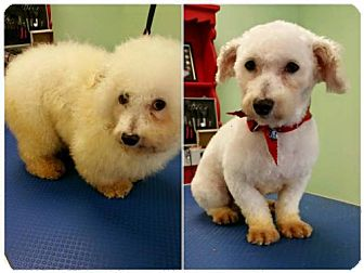 Bichon Frise Dog for adoption in London, Ontario - Pierre