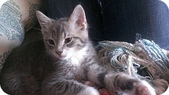 Domestic Shorthair Kitten for adoption in Port Republic, Maryland - Smitty