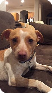 Jack Russell Terrier/Terrier (Unknown Type, Small) Mix Dog for adoption in McKinney, Texas - Jack - Courtesy Listing