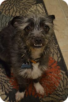 Schnauzer (Standard)/Terrier (Unknown Type, Medium) Mix Dog for adoption in Bellingham, Washington - Spike