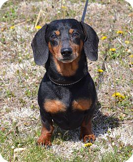 Dachshund Dog for adoption in Larned, Kansas - Ruger