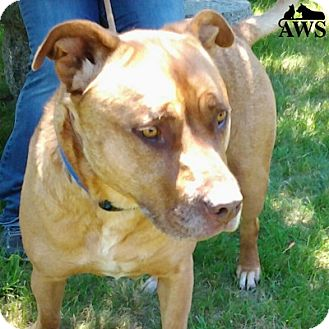 Pit Bull Terrier Mix Dog for adoption in West Kennebunk, Maine - Ruco