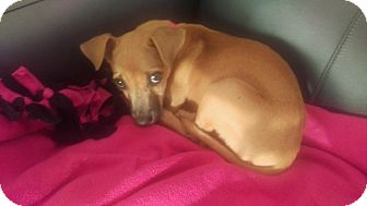 Chihuahua Mix Puppy for adoption in Lacey, Washington - Tinker