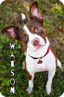 Border Collie Mix Dog for adoption in DFW, Texas - Watson