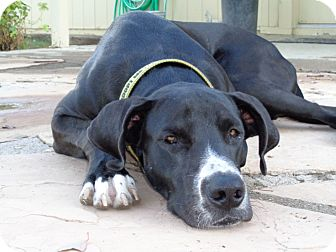 Great Dane Puppy for adoption in Phoenix, Arizona - Valor