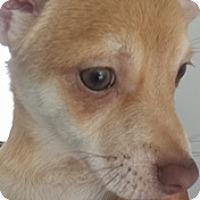 Adopt A Pet :: Peanut chi - El Cajon, CA