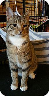 Domestic Shorthair Cat for adoption in Flushing, New York - Sprite