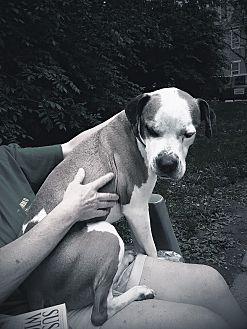 Boxer Mix Dog for adoption in Wilmington, Massachusetts - Kadir: Calm adult dog